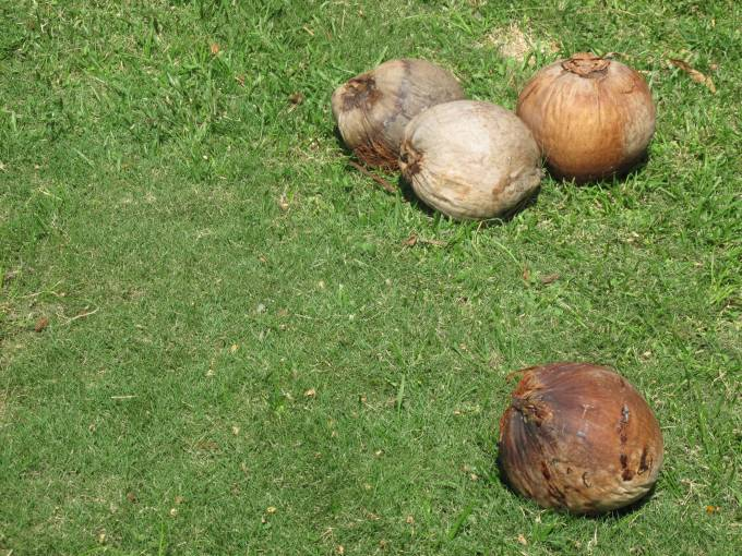 Coconuts on the Panamanian grass