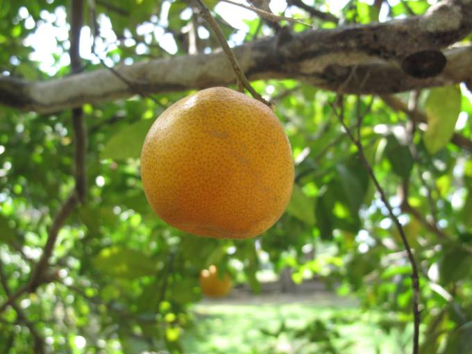 A lemon (not an orange) on a lemon tree! Who knew?