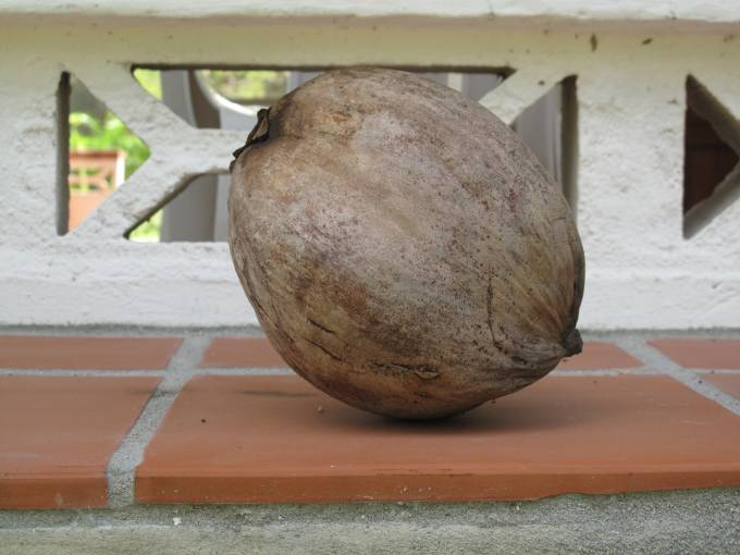 Hand-picked coconut
